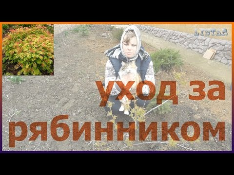 Все о выращивании рябинника Как посадить и вырастить рябинник Как выращивать рябинник
