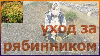 видео Рябинник - посадка и уход в открытом грунте