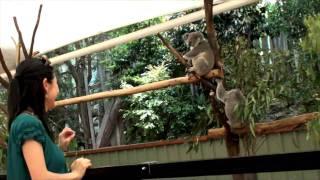 コアラの保護区としては最古、かつ頭数も世界最多のギネスブックにも登...