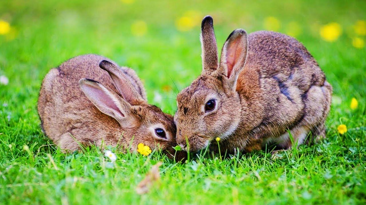 les animaux de la ferme le lapin