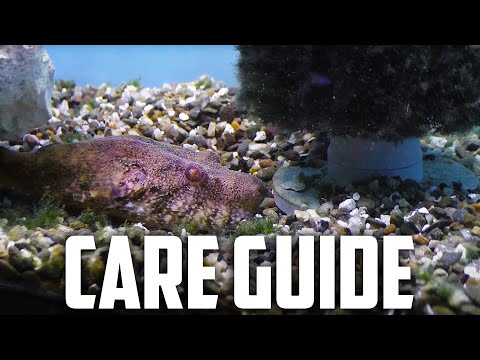 Care Guide For Arrowhead Puffer - Tetraodon Suvattii - Arrow Head Puffer - Pig Nose Puffer