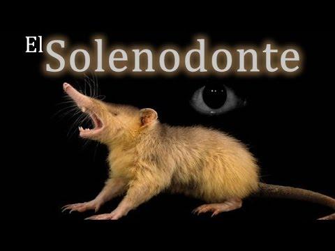 El Solenodonte. Un mamífero venenoso.