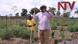 ENKUMBI TERIMBA: Pulezidenti Museveni atandise okukungula byeyasimba e luweero thumbnail