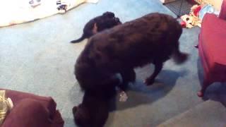 Newfoundland Mom Teaching Her Puppies