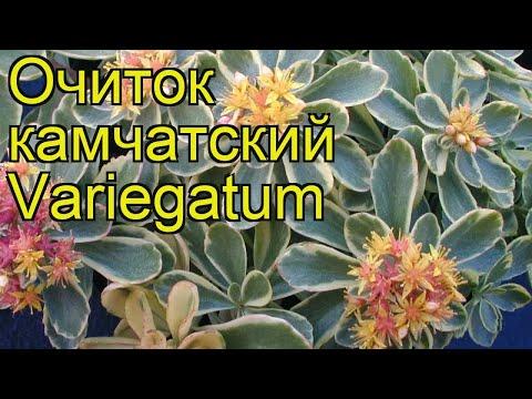 Очиток камчатский Вариегатум. Краткий обзор, описание характеристик sedum kamtschaticum Variegatum