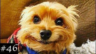 Cutest Yorkshire Terriers Compilation  Funny Yorkies Video