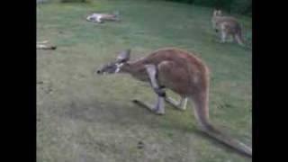 オーストラリアに行った学生がCaversham Wildlife Parkで録画した、カン...