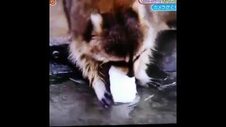 Raccoon tries to wash cotton candy, but it dissolves instantly