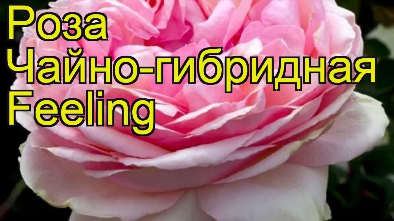 Роза чайно-гибридная Мохана (Mohana). Краткий обзор, описание .