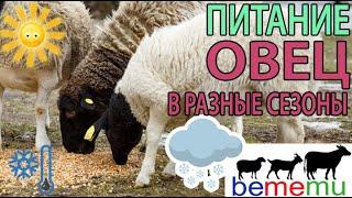 Питание овец в зависимости от сезона.