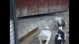 одесские голуби видео