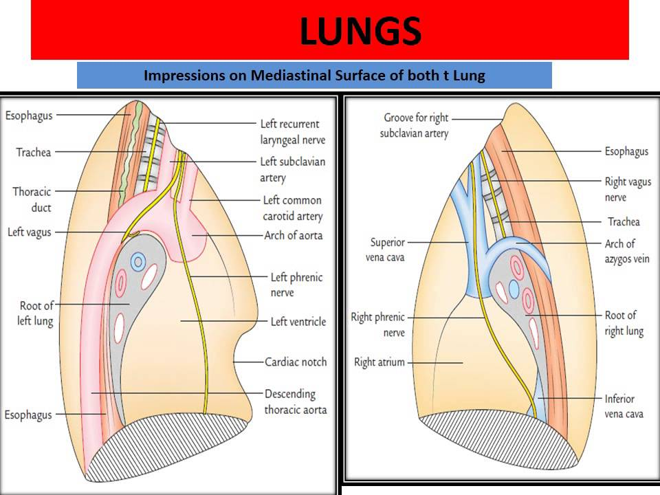 Applied anatomy of pleura & lung - YouTube