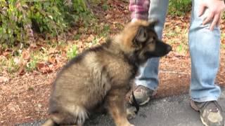 Chaos, Akc Longcoat German Shepherd Puppy!