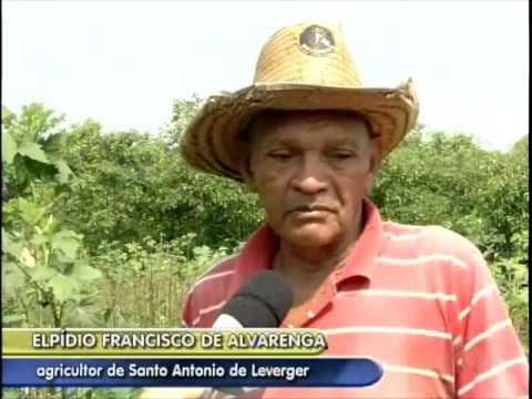 Plantio de quiabo sobrevive com irrigação de gotejamento ...
