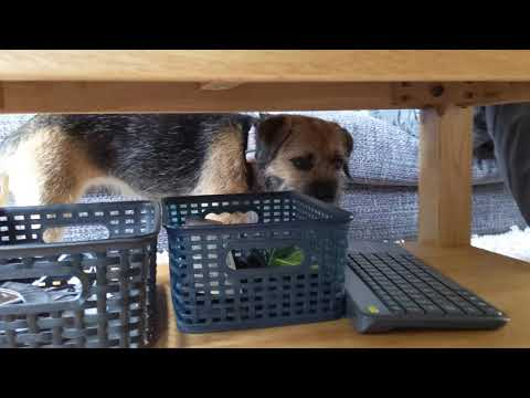 Border terrier Leeloo unsure about...