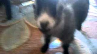 TRAINED HOUSE GOAT