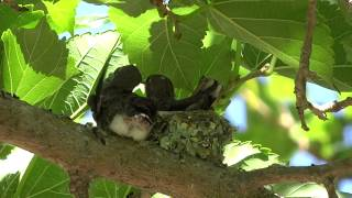 Baby hummingbird leaves nest for the first time ever!