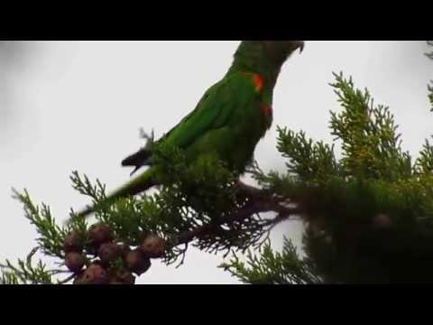endemic, Santa Marta Parakeet, Pyrrhura viridicata, Sierra Nevada de Santa Marta