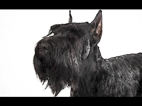 Giant Schnauzer Brief History of breed of dog lovers dogs Giant Schnauzer 101 facts origins