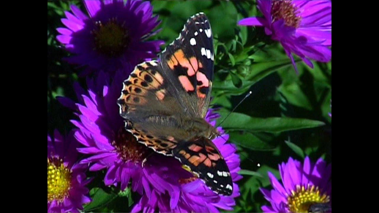 belle dame papillon francais de france