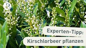 Kirschlorbeer: Kirschlorbeer schneiden, pflanzen & pflegen (Anleitung)