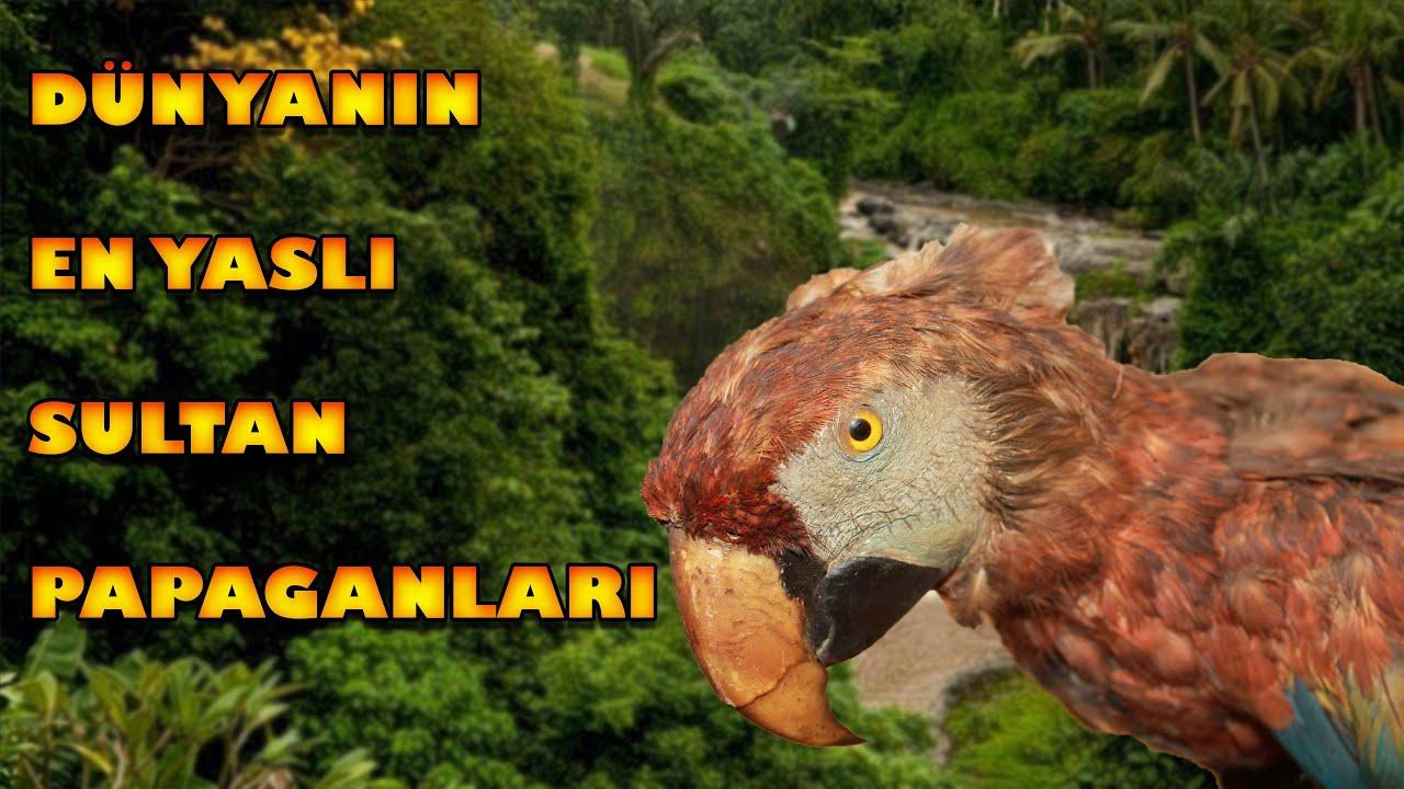 Dünyanın En Yaşlı Sultan Papağanları (oldest cockatiel in the world)