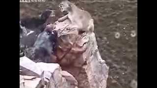 Собаки защищают хозяев от горного льва