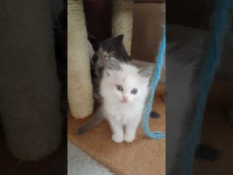 Our Litter of  Ragamuffin Kittens May 2017