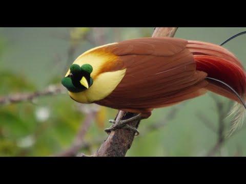 Tanah Papua:  A Paradise for Birds