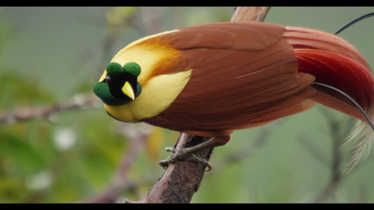 Tanah Papua: A Paradise for Birds - YouTube