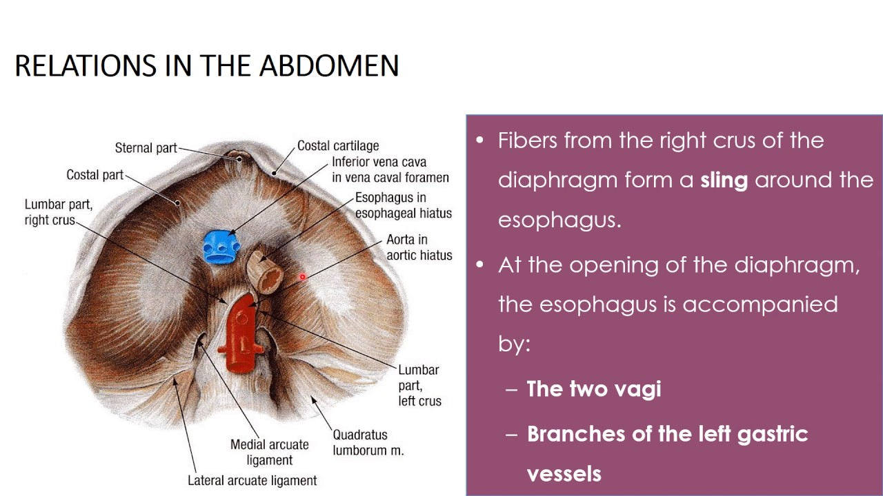stomach and duodenum part 1 - YouTube