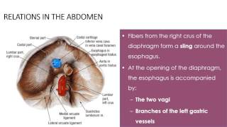 stomach and duodenum part 1