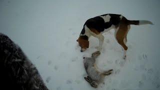 ШОК!!! Слепые зайцы! Охота на зайца с Русской Пегой Гончей.