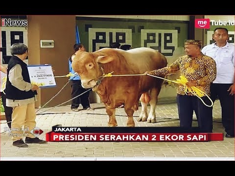 Presiden Jokowi Kurban 2 Ekor Sapi Kurban Di PP Muhammadiyah - Special Report 23/08