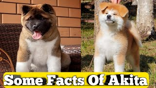 Akita Dog Breed information    Facts of Akita Dog    American Akita Dog breed    Akita inu Dog