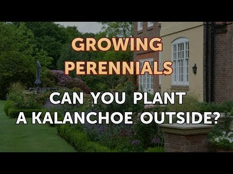 Can You Plant A Kalanchoe Outside Youtube
