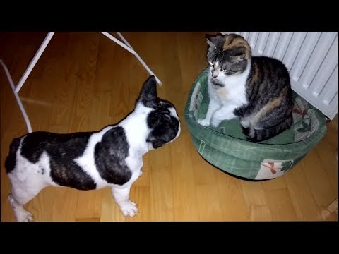 French bulldog battles bully cat for bed