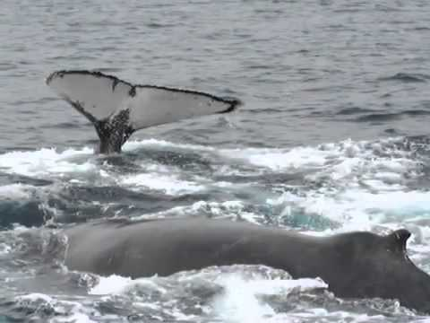 Ballenas de Sudamérica   Foto identificación Argentina & Ecuador