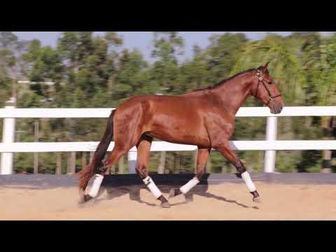 Lote 18 - Obreiro HI - Cavalos puro sangue Lusitanos - Coudelaria aguilar