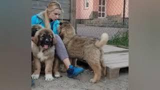 В питомнике гости и щенки кавказской овчарки 2.5 мес. (купить щенка)  caucasian sherped dog puppi