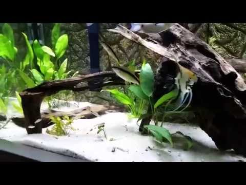 Freshwater Tropical Community and Angel Fish Tank