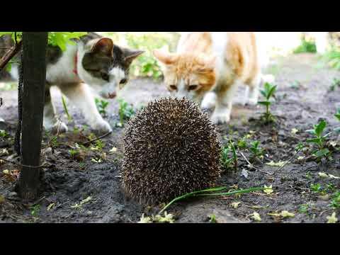 Cats meet a hedgehog 4k UHD