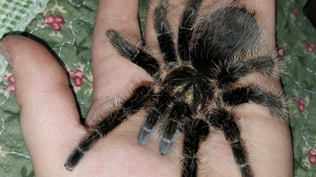 2 способа взять паука на руки...( Как правильно взять паука на руки? )