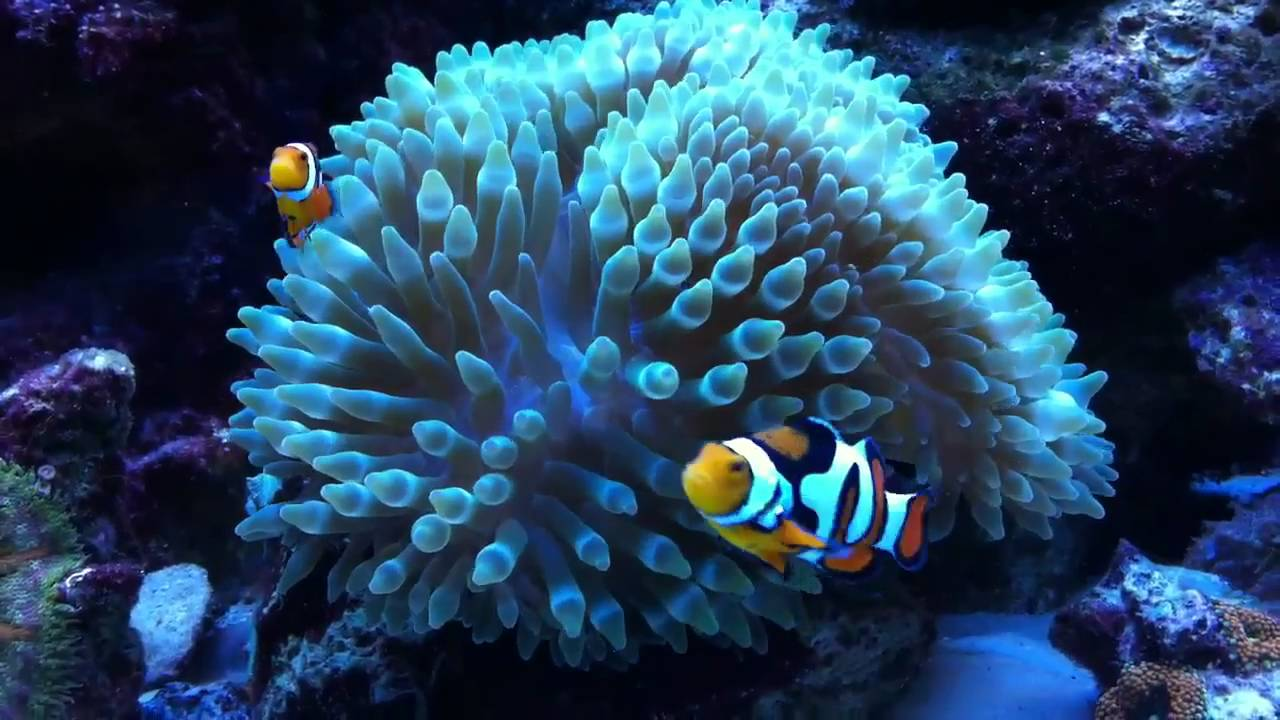 Picasso clownfish swim in anemone youtube for Clown fish for sale