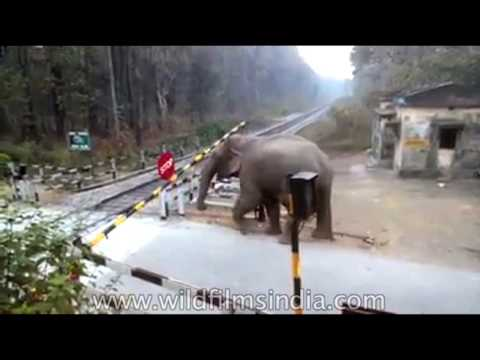 Wild Elephant crosses railway line in Jalpaiguri, India