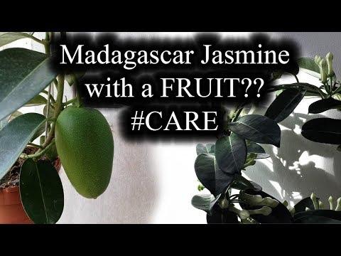 how-to-care-for-madagascar-jasmine-(stephanotis-floribunda)-with-a-fruit