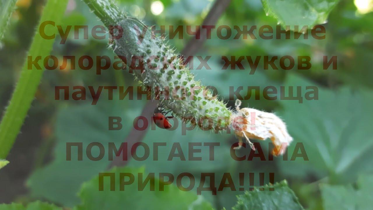 ПАН143 Супер уничтожение колорадского жука Паутинного клеща В гармонии с природой!
