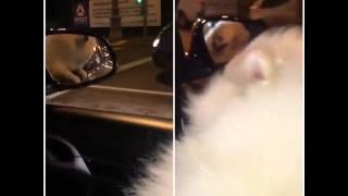 Инстаграм Дом 2 22.09.2015: Собака Гусевых едет домой из зоосалона