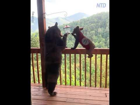 медведи едят из кормушки