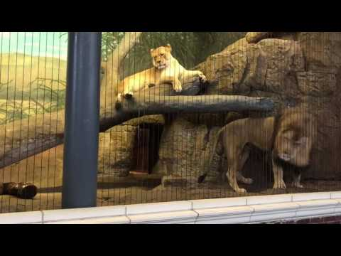 Terrifying Lion Roar at Lincoln Park Zoo